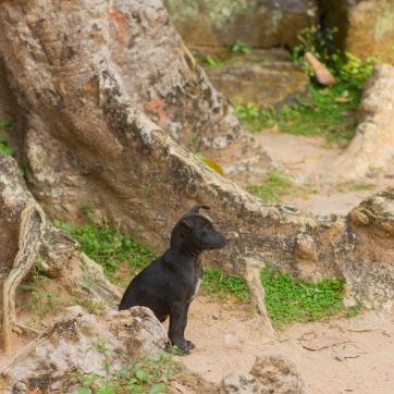 angkor pup