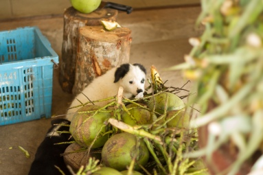 pups among the coconuts