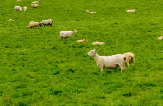 are sheep in ireland smoking pot? news at 11