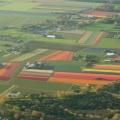 tulips, one
