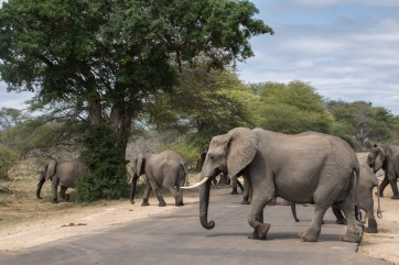 elefant crossing